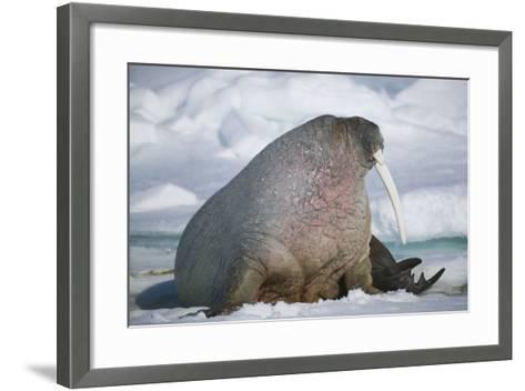 Walrus with a Broken Tusk-DLILLC-Framed Art Print