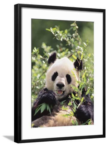 Giant Panda-DLILLC-Framed Art Print