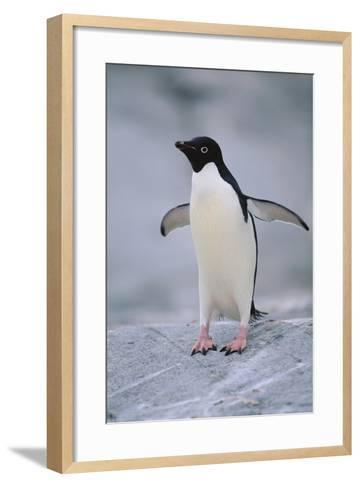 Adelie Penguin with Wings Outstretched-DLILLC-Framed Art Print