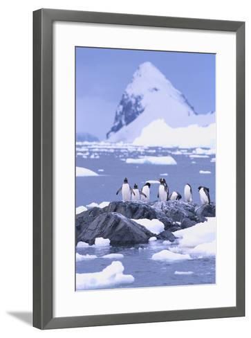 Gentoo Penguin-DLILLC-Framed Art Print