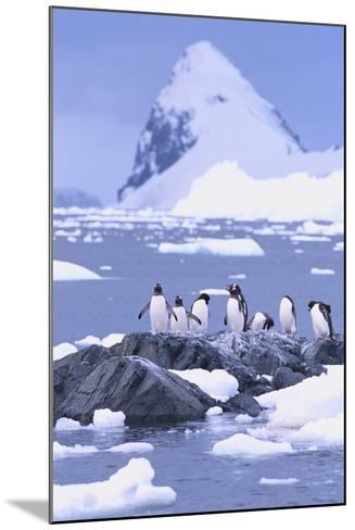 Gentoo Penguin-DLILLC-Mounted Photographic Print