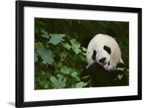 Giant Panda in the Forest-DLILLC-Framed Art Print