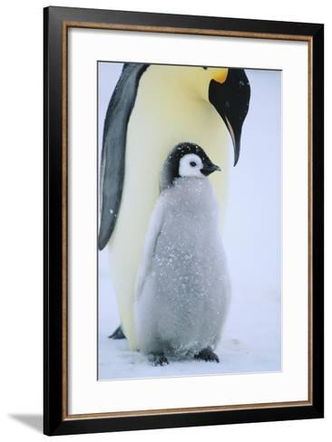 Emperor Penguin-DLILLC-Framed Art Print