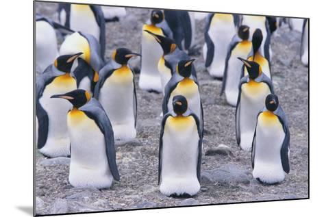 King Penguin-DLILLC-Mounted Photographic Print