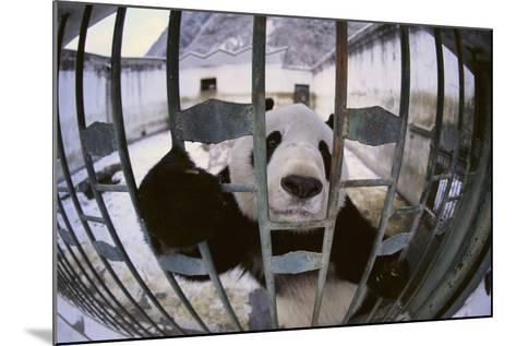 Panda in Cage-DLILLC-Mounted Photographic Print