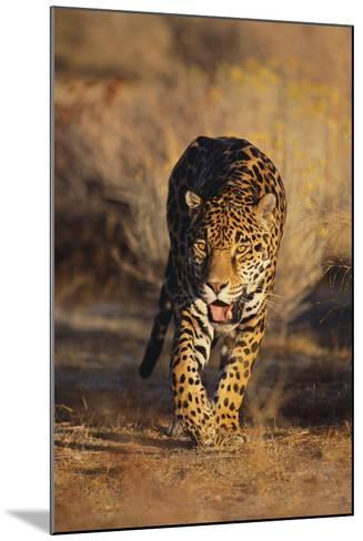 Jaguar-DLILLC-Mounted Photographic Print