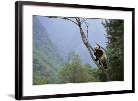 Panda Climbing Tree-DLILLC-Framed Art Print