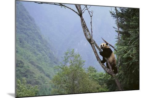 Panda Climbing Tree-DLILLC-Mounted Photographic Print