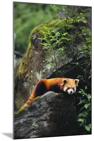 Red Panda Resting on Rock-DLILLC-Mounted Photographic Print