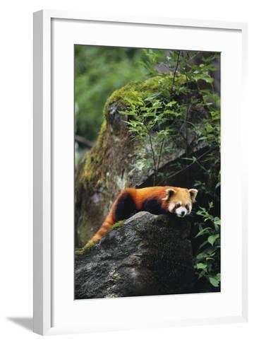 Red Panda Resting on Rock-DLILLC-Framed Art Print