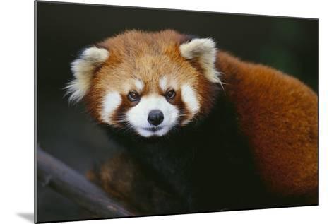 Red Panda-DLILLC-Mounted Photographic Print