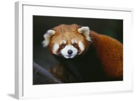 Red Panda-DLILLC-Framed Art Print