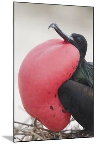 Great Frigatebird Puffing His Inflatable Red Throat Pouch-DLILLC-Mounted Photographic Print