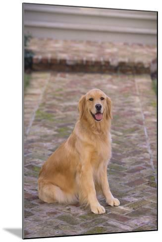 Golden Retriever-DLILLC-Mounted Photographic Print