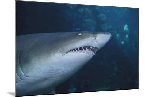 Ragged Tooth Shark-DLILLC-Mounted Photographic Print