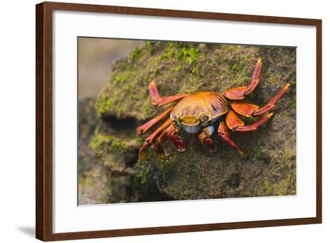 Sally Lightfoot Crab on a Rock-DLILLC-Framed Art Print