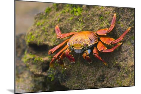 Sally Lightfoot Crab on a Rock-DLILLC-Mounted Photographic Print