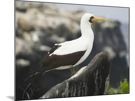 Nazca Booby-DLILLC-Mounted Photographic Print