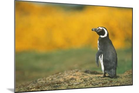 Magellanic Penguin-DLILLC-Mounted Photographic Print