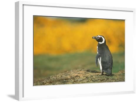 Magellanic Penguin-DLILLC-Framed Art Print
