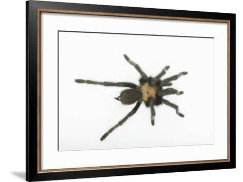 Desert Blond Tarantula-DLILLC-Framed Art Print