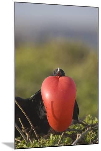 Great Frigatebird-DLILLC-Mounted Photographic Print