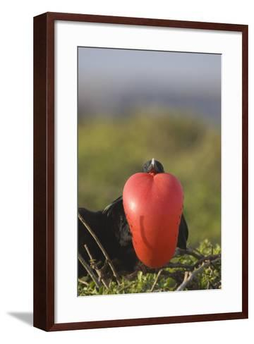 Great Frigatebird-DLILLC-Framed Art Print
