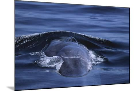 Blue Whale's Back-DLILLC-Mounted Photographic Print
