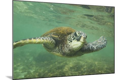 Green Sea Turtle-DLILLC-Mounted Photographic Print