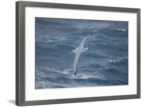 Wandering Albatross-DLILLC-Framed Art Print