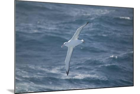 Wandering Albatross-DLILLC-Mounted Photographic Print