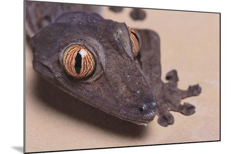 Madagascar Leaf-Tail Gecko-DLILLC-Mounted Photographic Print