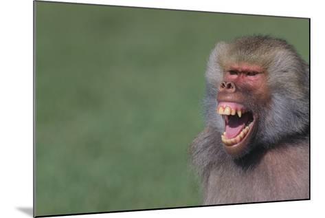 Baboon Baring Teeth-DLILLC-Mounted Photographic Print