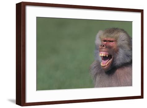 Baboon Baring Teeth-DLILLC-Framed Art Print
