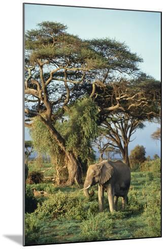 African Elephant-DLILLC-Mounted Photographic Print