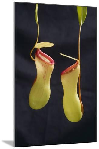 Tropical Pitcher Plant-DLILLC-Mounted Photographic Print