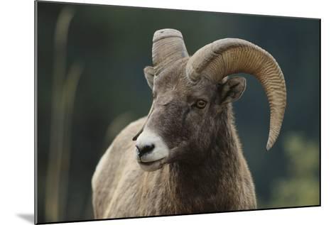Bighorn Sheep-DLILLC-Mounted Photographic Print