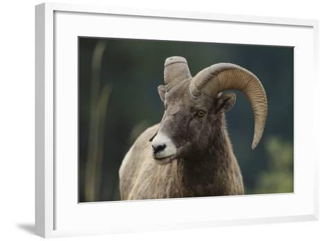 Bighorn Sheep-DLILLC-Framed Art Print