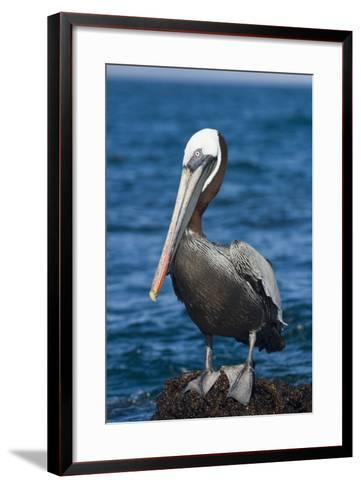 Brown Pelican-DLILLC-Framed Art Print