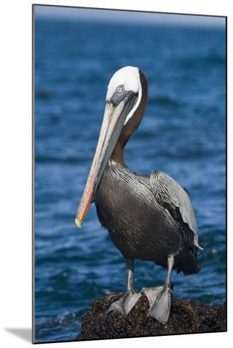 Brown Pelican-DLILLC-Mounted Photographic Print
