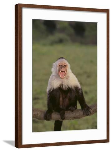 White-Faced Capuchin Baring Teeth-DLILLC-Framed Art Print