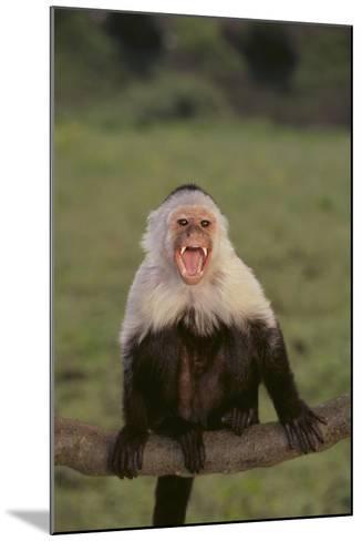 White-Faced Capuchin Baring Teeth-DLILLC-Mounted Photographic Print