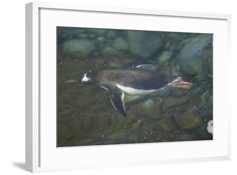 Gentoo Penguin Swimming Underwater-DLILLC-Framed Art Print