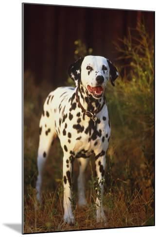 Dalmatian-DLILLC-Mounted Photographic Print