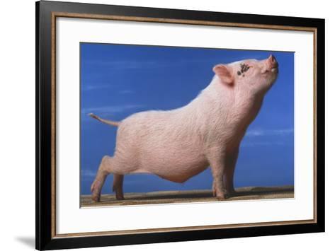 Vietnamese Pot-Bellied Pig Stretching-DLILLC-Framed Art Print