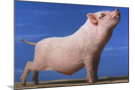 Vietnamese Pot-Bellied Pig Stretching-DLILLC-Mounted Photographic Print