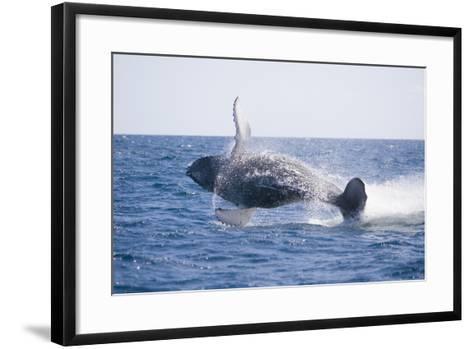 Humpback Whale Breaching-DLILLC-Framed Art Print