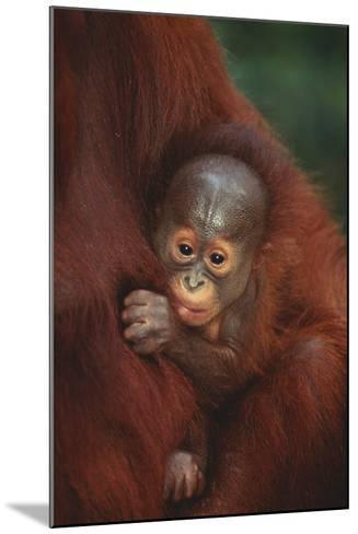 Baby Orangutan Holding onto Mother-DLILLC-Mounted Photographic Print