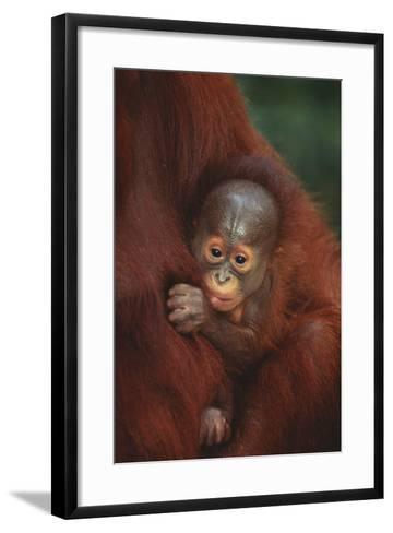 Baby Orangutan Holding onto Mother-DLILLC-Framed Art Print