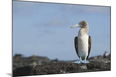 Blue-Footed Booby-DLILLC-Mounted Photographic Print